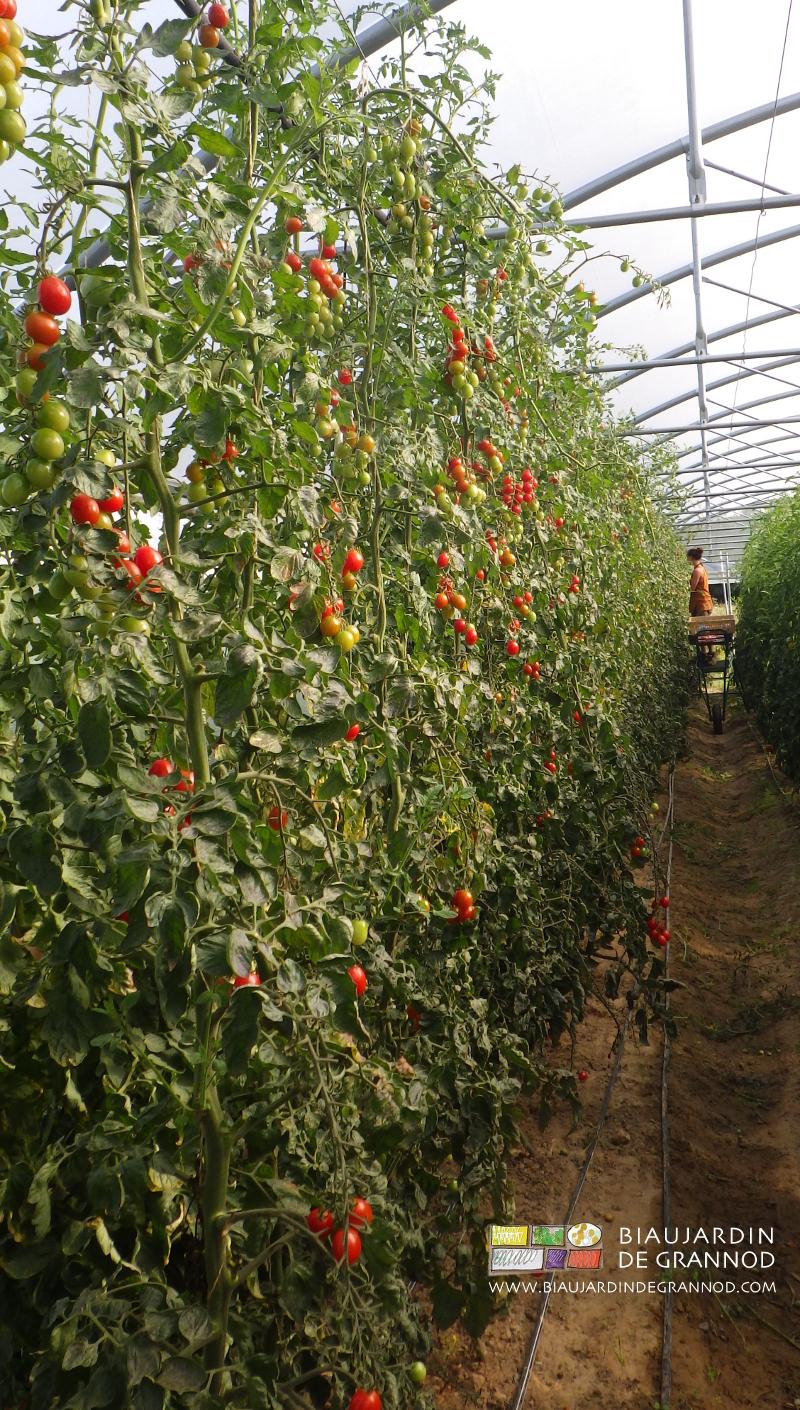 travail en altitude (avec matériel adapté) pour la récolte de tomate cerise