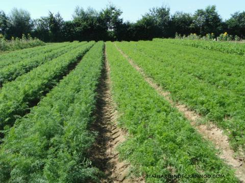 notre carré de carotte bio début août