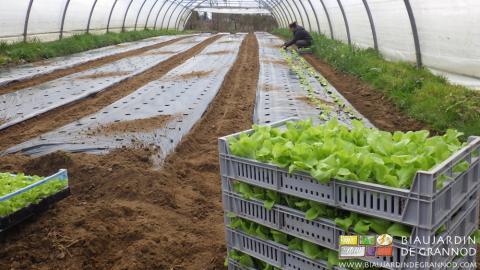 Plantation manuelle du tunnel de salade