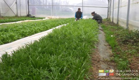 Récolte des diverses espèces et variétés pour le mesclun. Bordure fleurie avec encore de la marguerite en floraison.