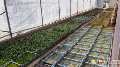 Acclimatation des caisses de mottes dans la serre solaire, avant repiquage au jardin.