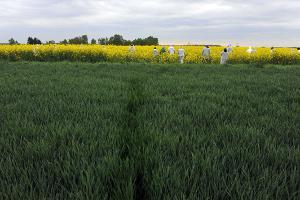 Neutralisation, par le collectif des Faucheurs Volontaires d'une parcelle de colza muté pour tolérer un herbicide chimique