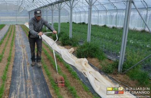 Entretien de la carotte primeur par des passages réguliers de la roue sarcleuse.