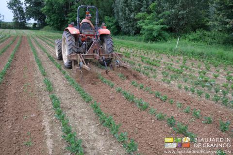Binage du céleri par une seule personne grâce à la Barre Porte Outils et au système hydraulique du tracteur.