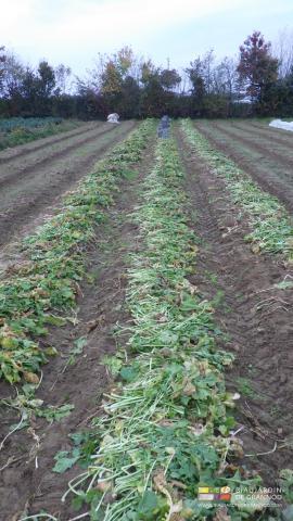 Les feuilles de navet restent au sol pour incorporation grossière