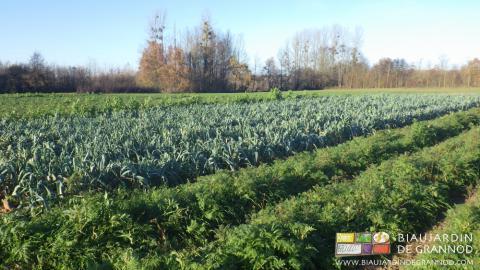 Poireau bocager entre engrais vert de phacélie et bande fleurie multi-espèces.