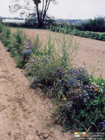 """Premières bandes fleuries pour """"amener"""" les auxiliaires au jardin."""