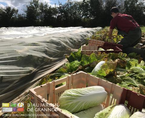 récolte de pé-tsaï protégé de l'attaque de certains insectes par des filets tissés
