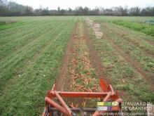 planches de carottes soulevées à l'arracheuse, puis manutention manuelle